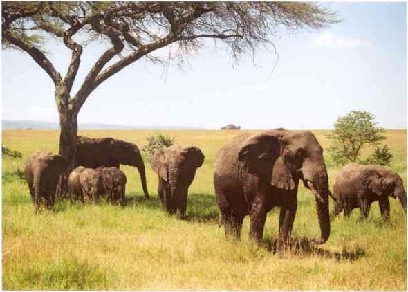 Migración en Serengeti, Tanzania